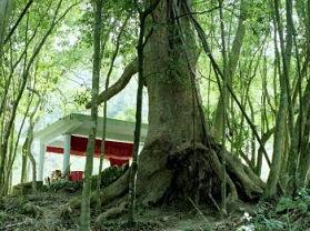 二寮千年樟树
