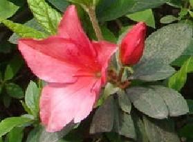 四季杜鹃花