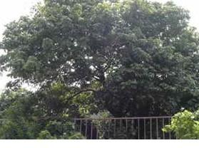 千年荔枝树-宋家香