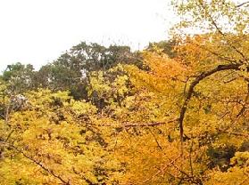 桂林海洋乡(银杏之乡)
