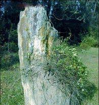 长山岭硅化木