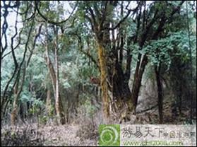 双江万亩原生古茶树群