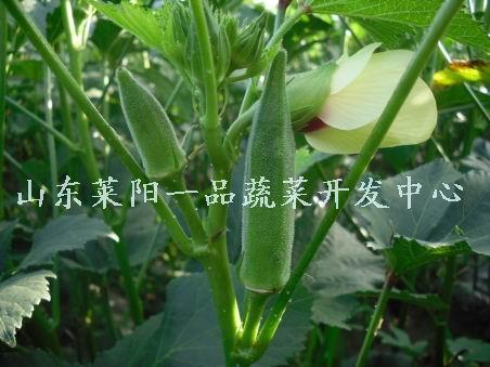 莱阳黄秋葵