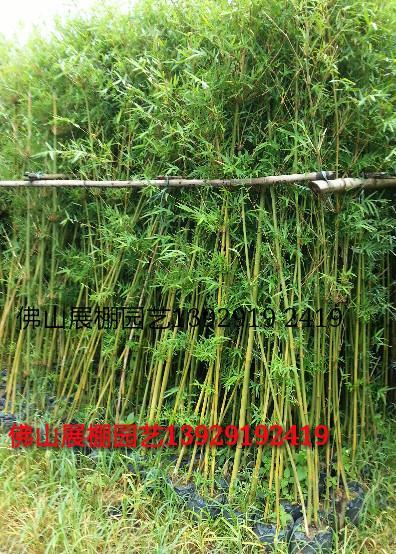 凤尾竹 青皮竹 观音竹 粉单竹 琴丝竹 巨龙竹