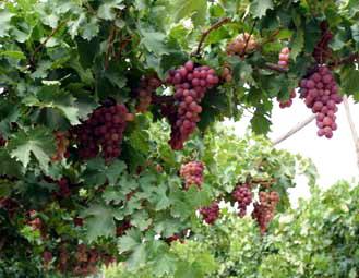 贺兰山葡萄