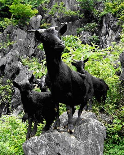 马山黑山羊