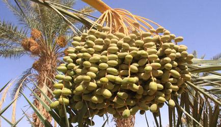 沙漠面包—利比亚椰枣