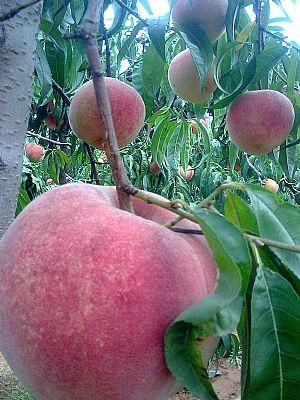 晚熟桃树新品种