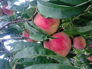 极晚熟桃品种