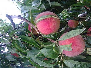 贵州桃树苗