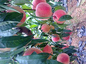 山东优质桃树苗