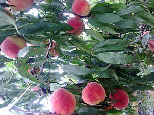 桃树苗供应