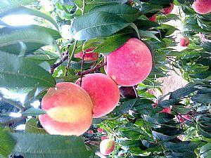 桃树苗的品种