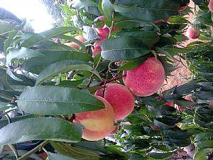 青海桃树苗