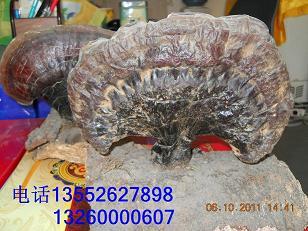 野生灵芝专卖店北京野生药用真菌专卖北京哪里买到野生药用真菌