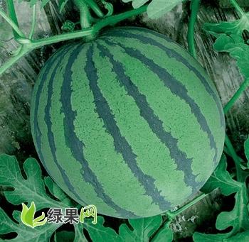 潍坊王帆专业西瓜购销合作社西瓜成熟上市