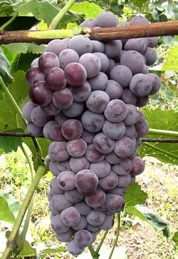优质无公害套袋巨峰葡萄