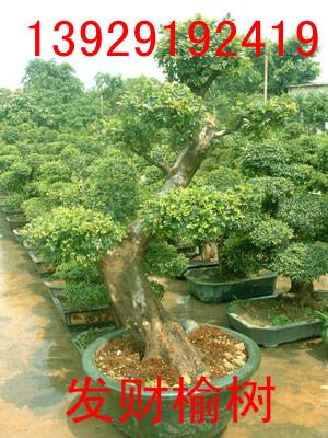 绿化树 龙眼树 榆树 朴树