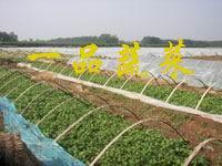 一级脱毒紫薯苗