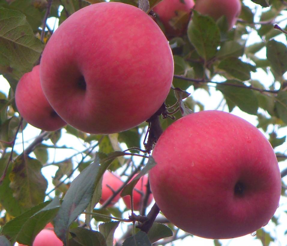 第五氏苹果促销6个装 陕西旬邑甘肃洛川新鲜水果红富士80#包