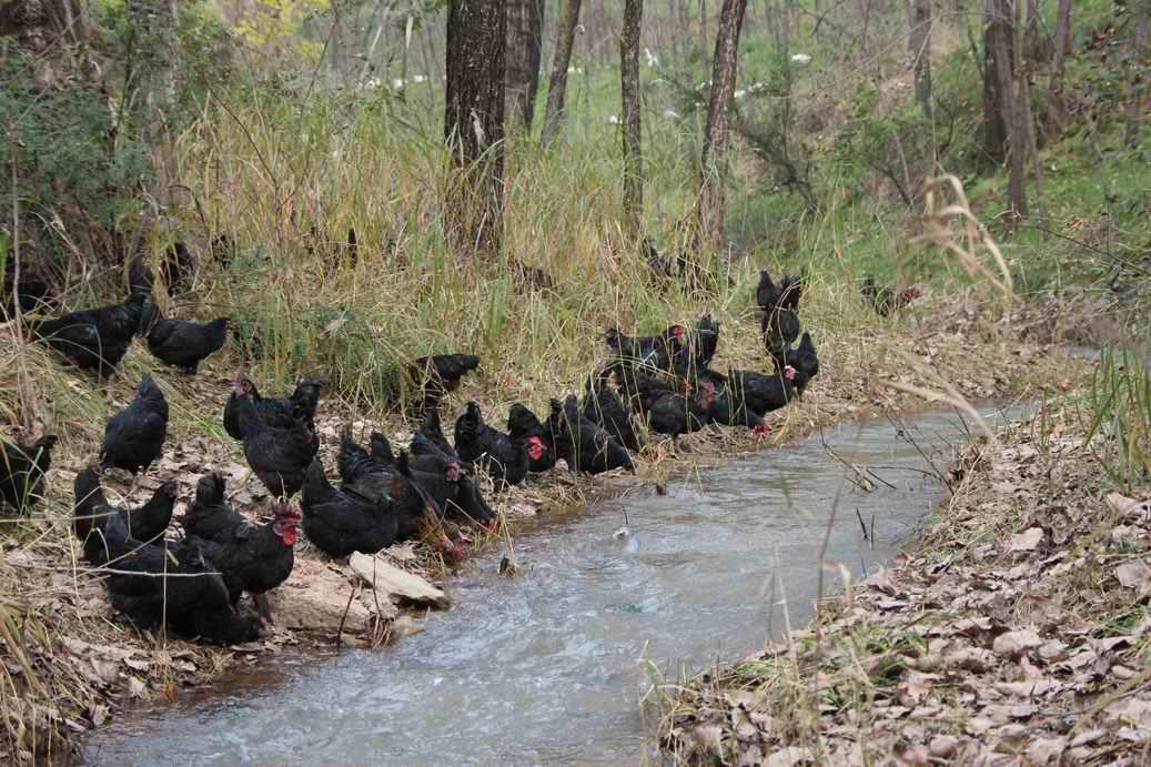 天然山林散养黑凤乌鸡、绿壳蛋