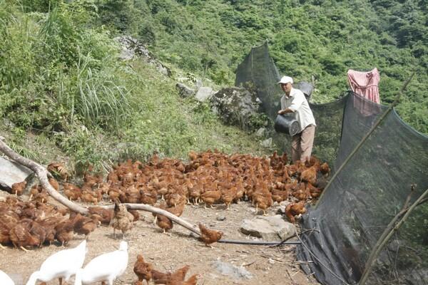 山域农家童子跑山鸡