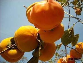 易县磨盘柿