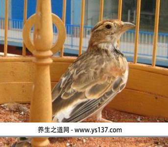 康保百灵鸟