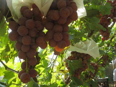 鲍子沟葡萄