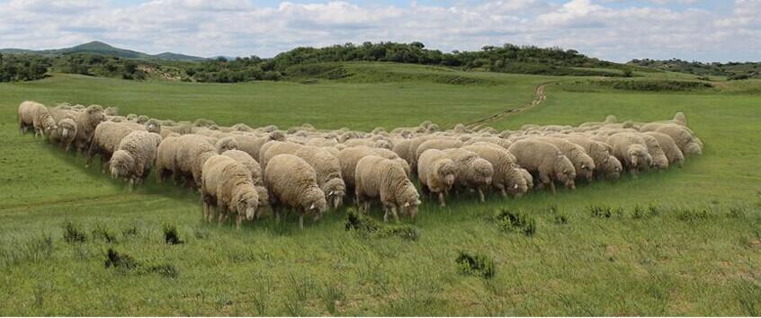 昭乌达肉羊