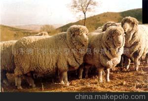 无角美利奴羊