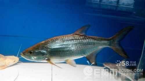 野生塔板鱼