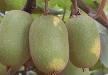 绥中猕猴桃