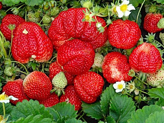 夏家村草莓