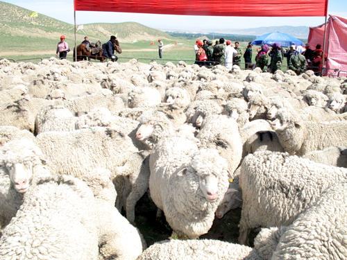 优质细毛羊