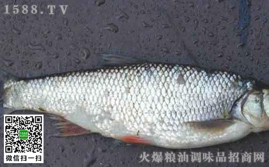 哲罗鱼(者罗鱼、折罗鱼)