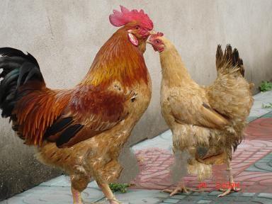 天长三黄鸡