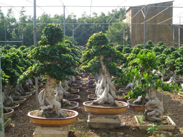 沙西榕树盆景
