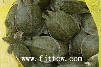 晋江龙湖鳖