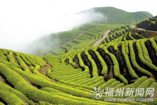 """连江长龙乡:名茶""""鹿池绿茶"""""""