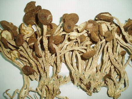 中华神菇-- 茶树菇