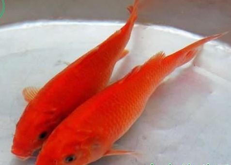 万安玻璃红鲤鱼 特产介绍 万安玻璃红鲤鱼特产销售 万安玻璃红鲤鱼特
