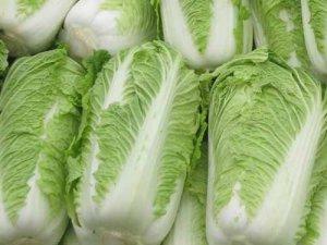 东北大白菜