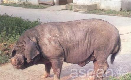 崇明沙乌头猪