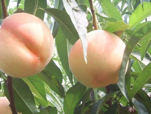 阳湖水蜜桃