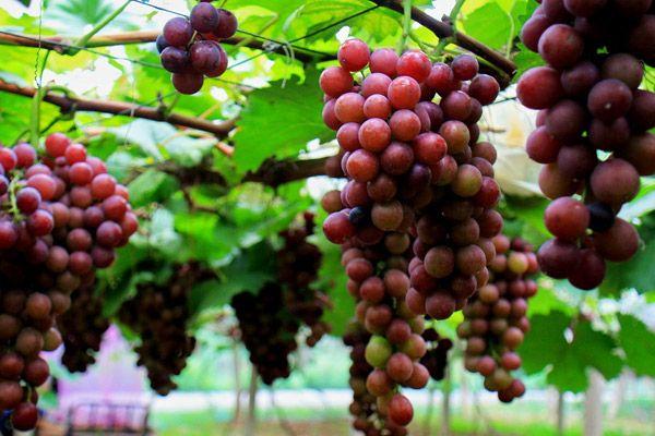 江心洲葡萄