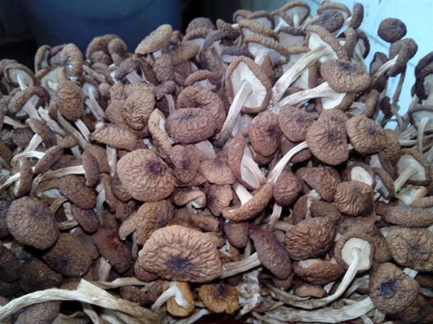 广昌茶树菇