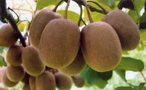 武宁猕猴桃
