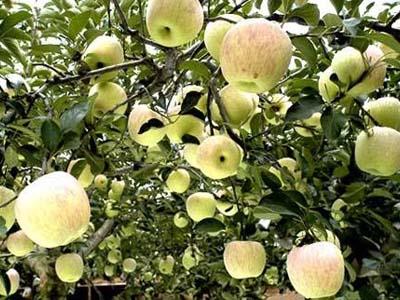 泰安金帅苹果