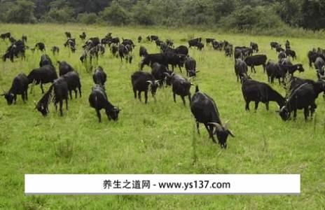 平邑黑山羊